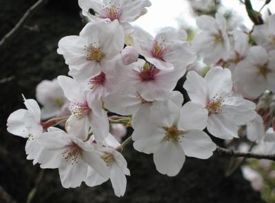 Sakura_0087