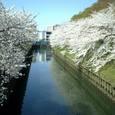 06 大幸橋より望む満開の桜