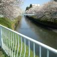 08 堀川緑道と桜