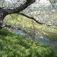 30 御用水街園の桜