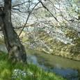 32 桜並木と堀川