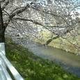 36 満開の桜