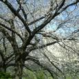40 見上げると桜