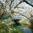 48 辻栄橋と桜