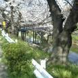 52 新堀橋と桜
