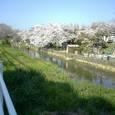 67 右岸に連なる桜並木