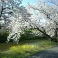 71 静寂な桜道①