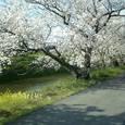 72 静寂な桜道②